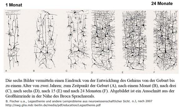 Abbau von ungenutzten Synapsen im Babyalter ähneln dem Abbau der Synapsen in der Pubertät.